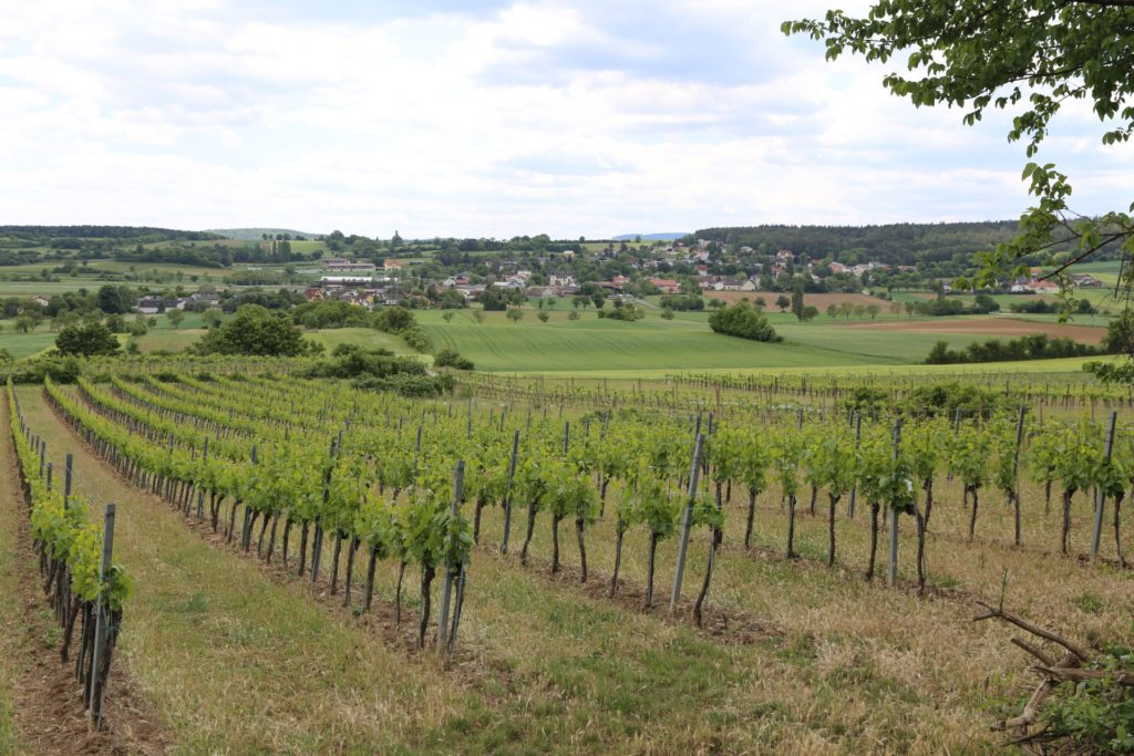 Der junge Weinstock gibt mehr Trauben, der alte besseren Wein. - Landschaft, Landwirtschaft, Natur, Reben, Rebstöcke, Weinbau, Weingarten, Weinreben, Weinstöcke - (Großau, Niederösterreich, Österreich)