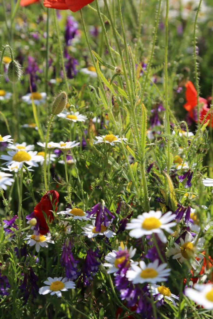 Ohne Blumenwiese gehts der Biene miese. - Blumen, Kamptal, Mohnblumen, Natur, Wiese - (Schönberg, Niederösterreich, Österreich)