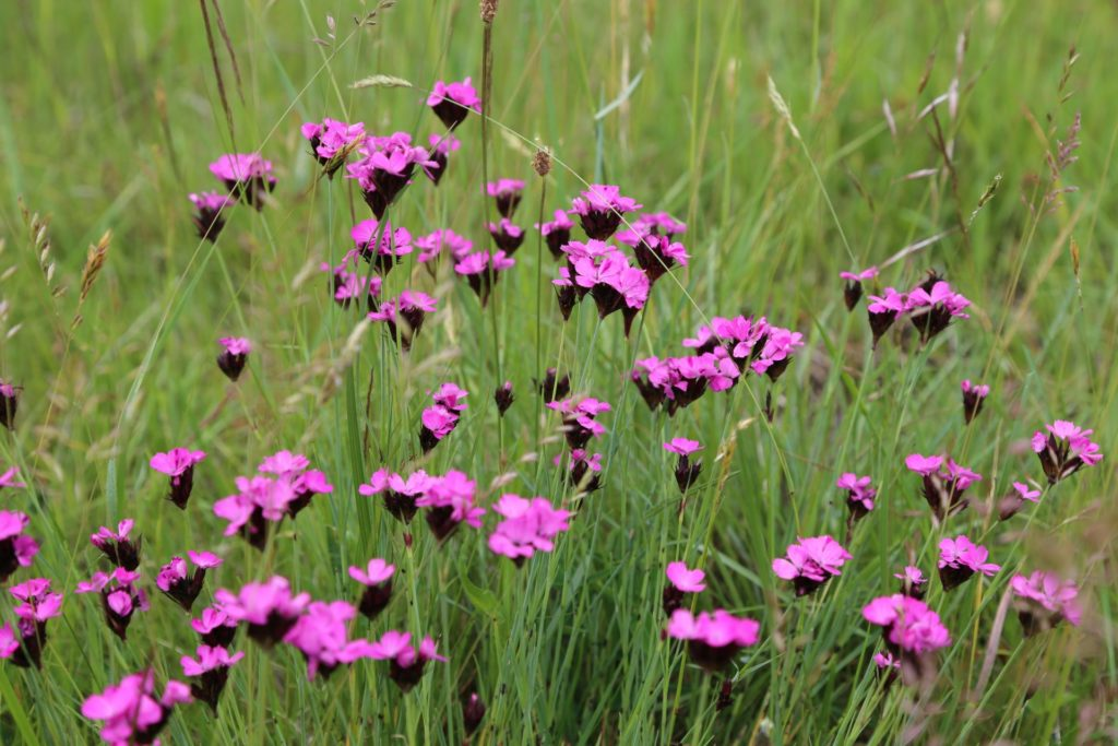 Auch diese schönen Nelken müssen irgendwann verwelken - Blumen, Nationalpark Thayatal, Natur, Pflanzen, Thayatal - (Merkersdorf, Niederösterreich, Österreich)
