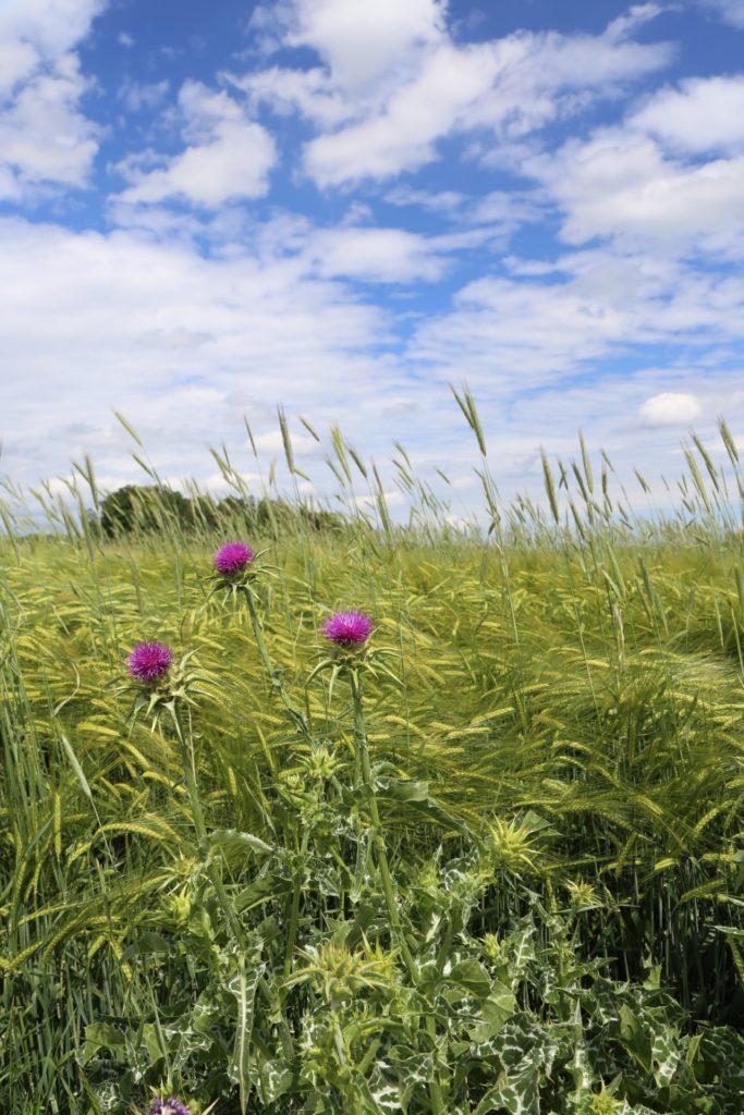 Idylle - Blumen, Himmel, Landschaft, Nationalpark Thayatal, Natur, Pflanzen, Thayatal, Wolken - (Sveti Krijak, Premuda, Zadarska, Kroatien)