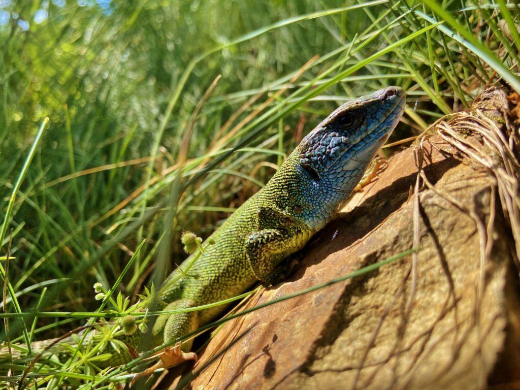 Smaragdeidechse, die auch als Chamäleon durchgehen würde! - Eidechse, Nationalpark Thayatal, Reptil, Smaragdeidechse, Thayatal, Tiere, Tierwelt - (Hardegg, Niederösterreich, Österreich)