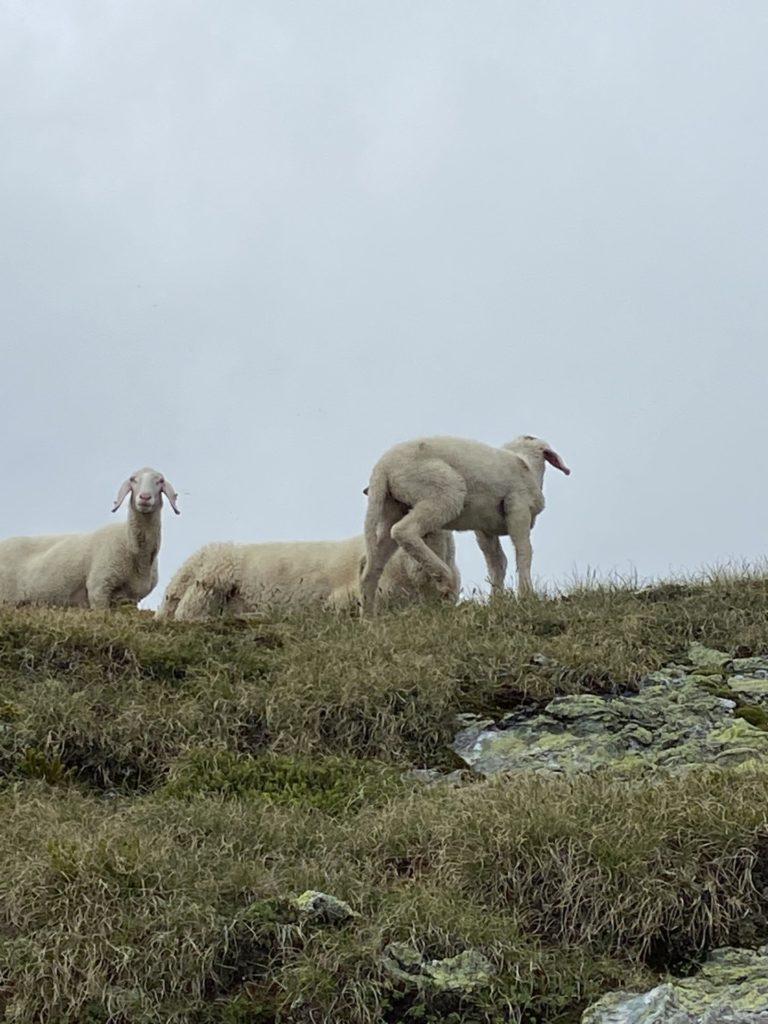 Lammschenkerl deluxe - Giglach Höhenweg, Herde, Lamm, Schaf, Schafe, Schladminger Tauern, Tiere - (Postlehen, Obertauern, Salzburg, Österreich)