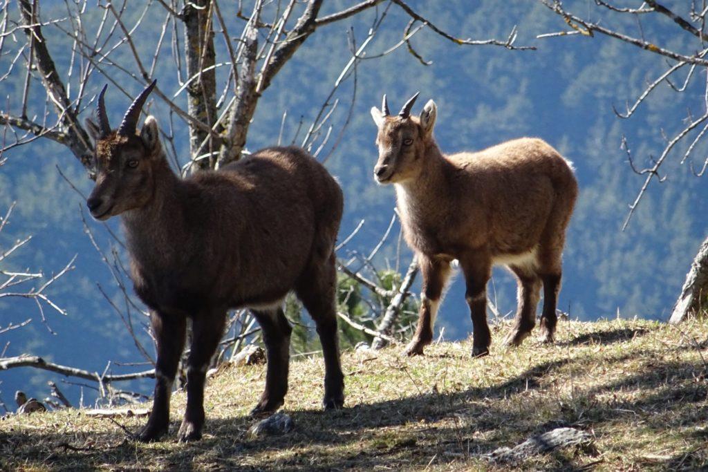 Steinbock im Fellrock - Hohe Wand, Hörner, Natur, Springlessteig, Steinbock, Steinböcke, Tiere - (Zweiersdorf, Niederösterreich, Österreich)
