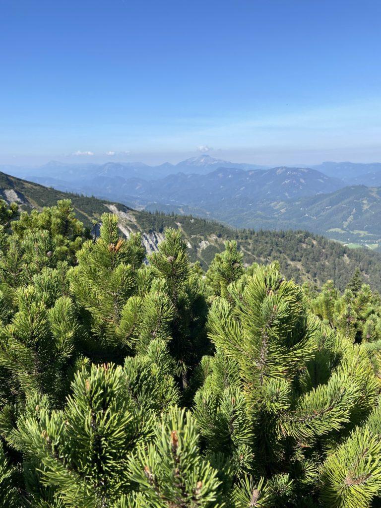 Durch viele Latschen musst am Göller hatschen - Alpen, Ausblick, Berg, Gebirge, Göller-Runde, Landschaft, Latschen, Latschenkiefer, Mürzsteger Alpen, Natur, Panorama - (Lahnsattel, Niederösterreich, Österreich)