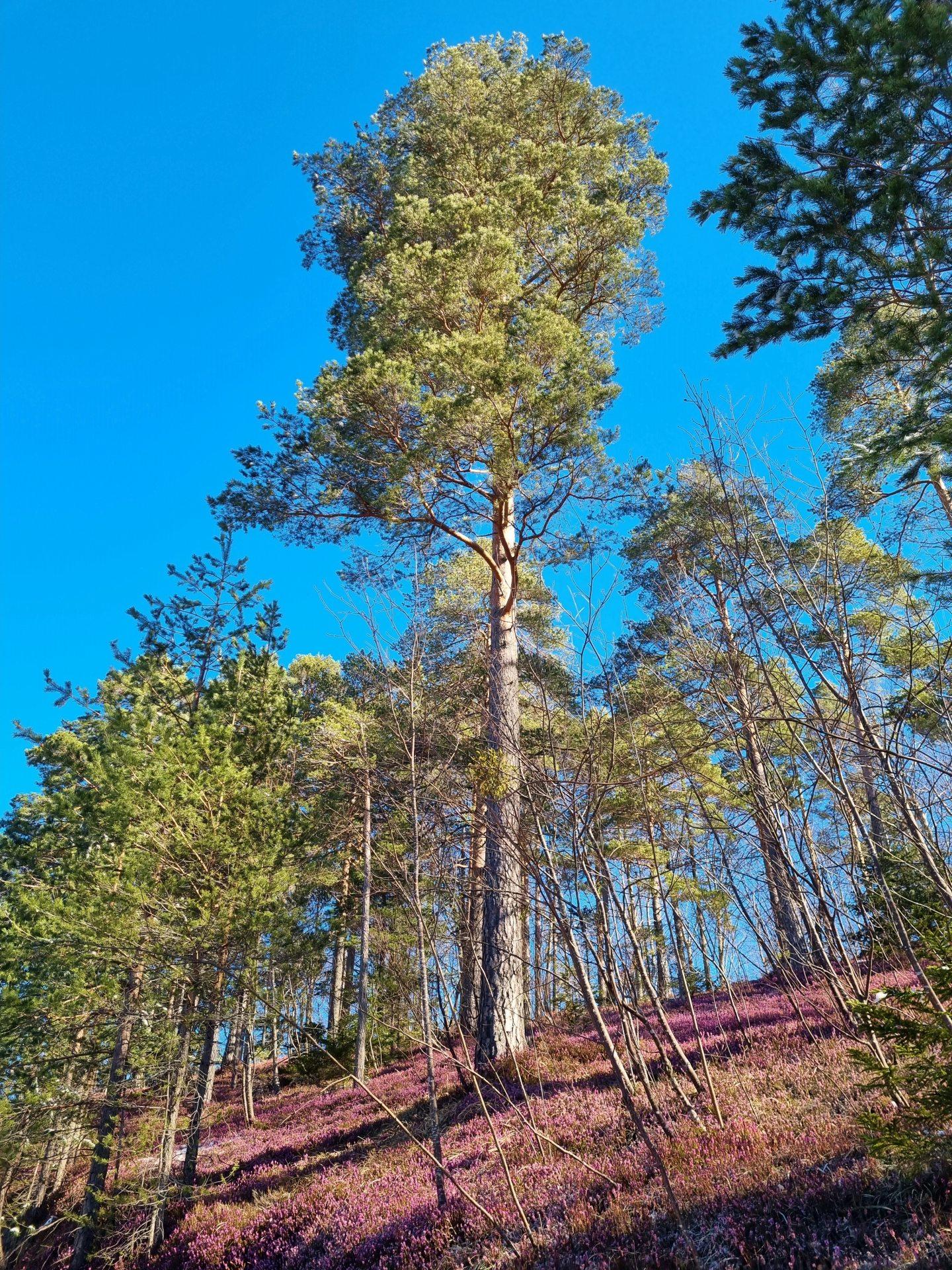 Die Natur hat bereits ihren rosa Teppich für uns ausgerollt - Erika in zeitiger Vollblüte! - Bäume, Erica, Natur, Pflanzen, Ramsau, Unterberg - (Adamsthal, Kieneck, Niederösterreich, Österreich)