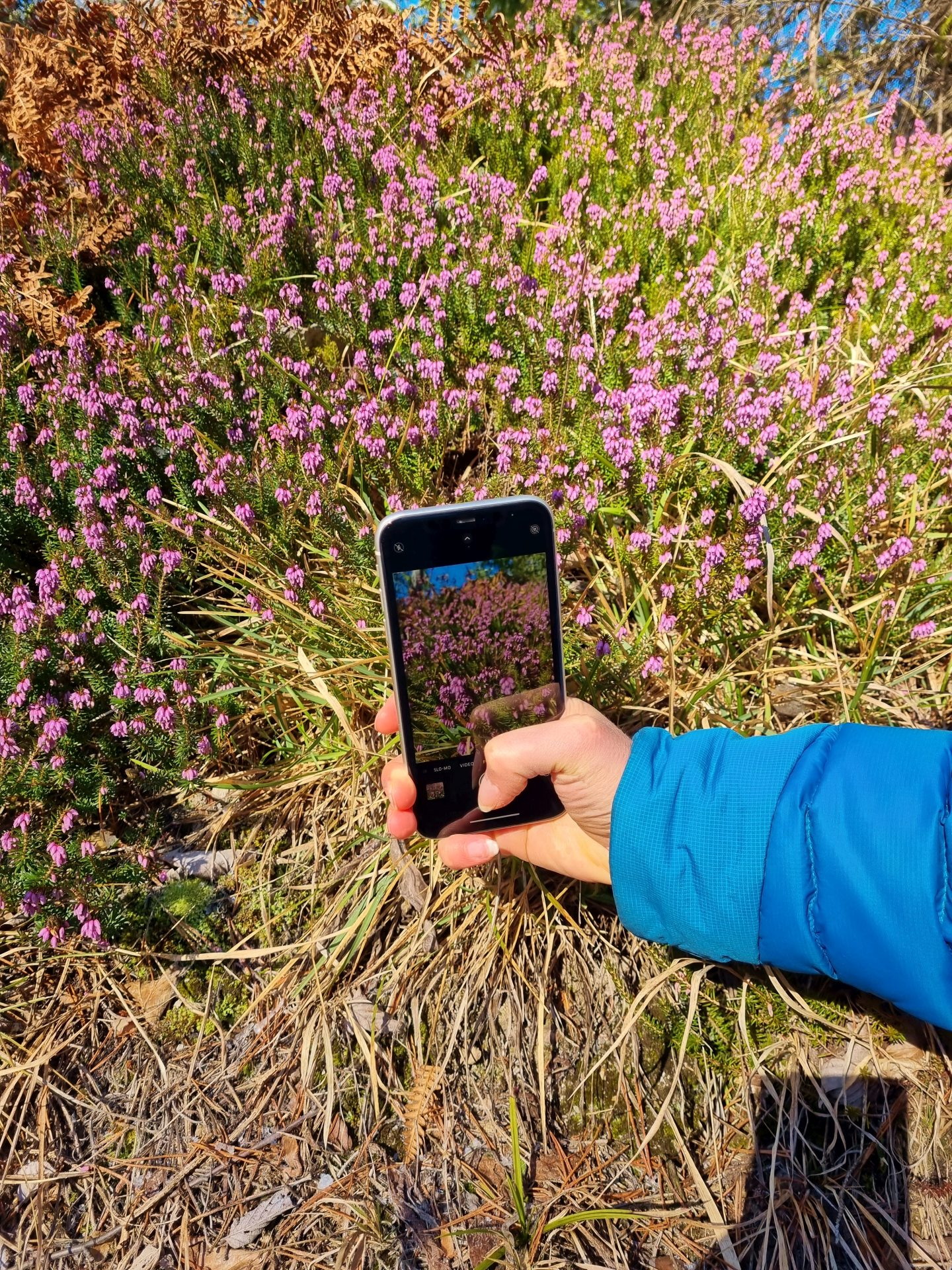 Diese Farben! No Filter needed! :-) - Erica, Natur, Pflanzen, Ramsau, Smartphone, Unterberg - (Adamsthal, Kleinzell, Niederösterreich, Österreich)