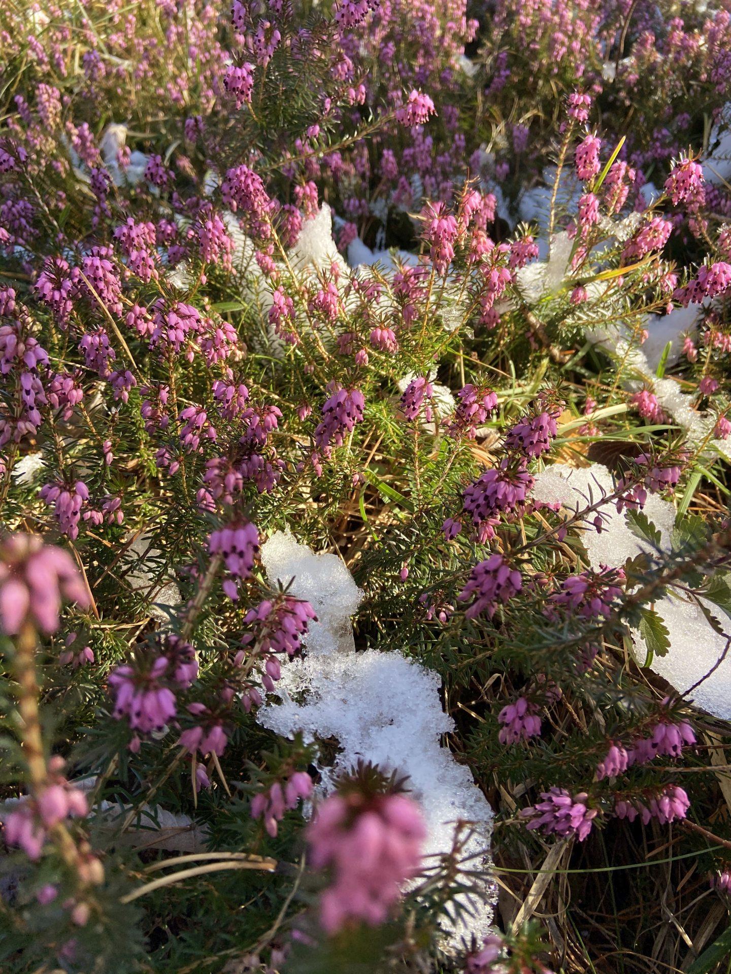Erika, der Lenz ist da! - Erica, Natur, Pflanzen, Ramsau, Schnee, Unterberg - (Adamsthal, Kieneck, Niederösterreich, Österreich)