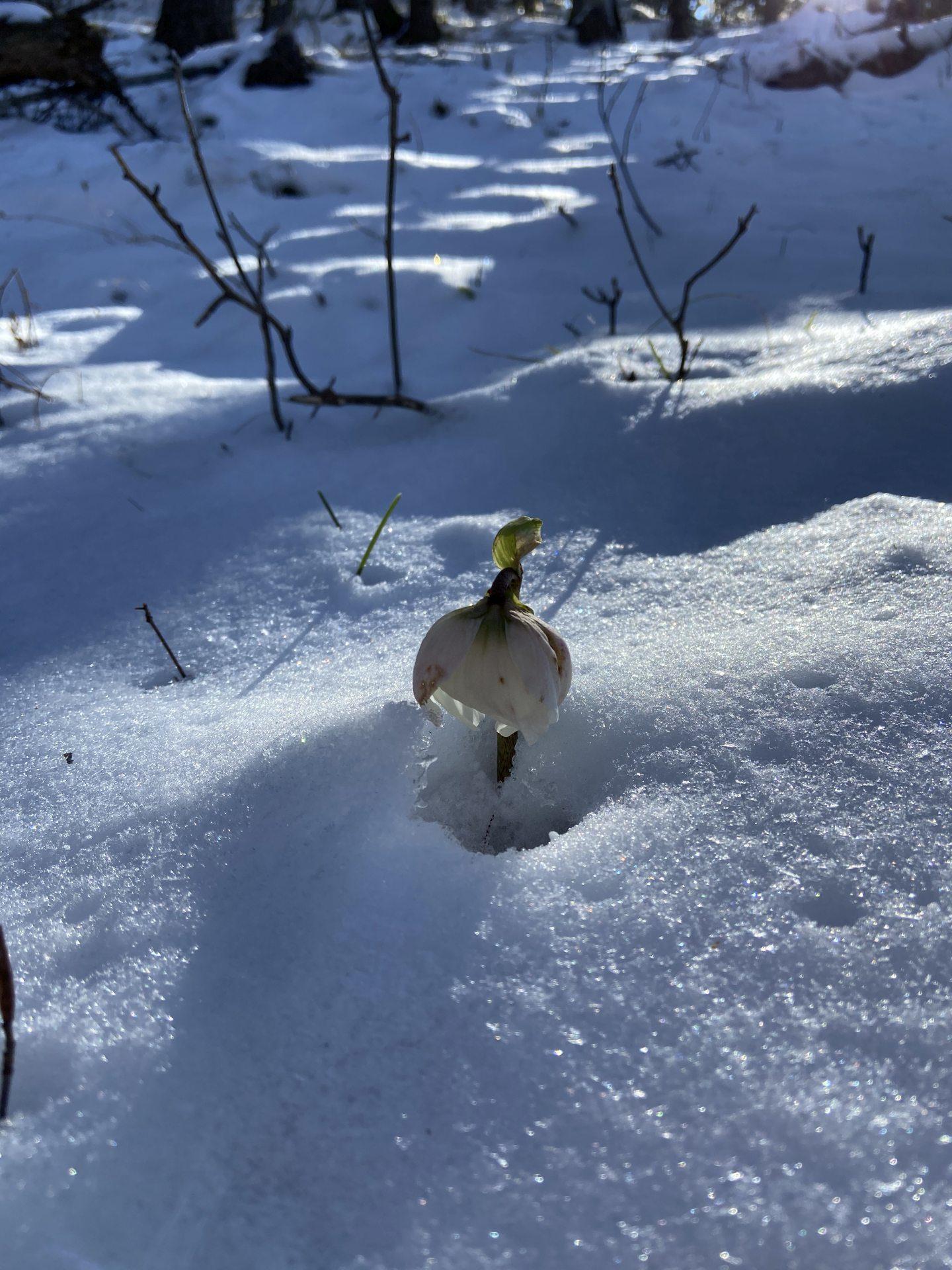 Die Schneerose - hart im Nehmen und zart im Blühen - Natur, Pflanze, Ramsau, Schnee, Schneerose, Unterberg - (Adamsthal, Kieneck, Niederösterreich, Österreich)