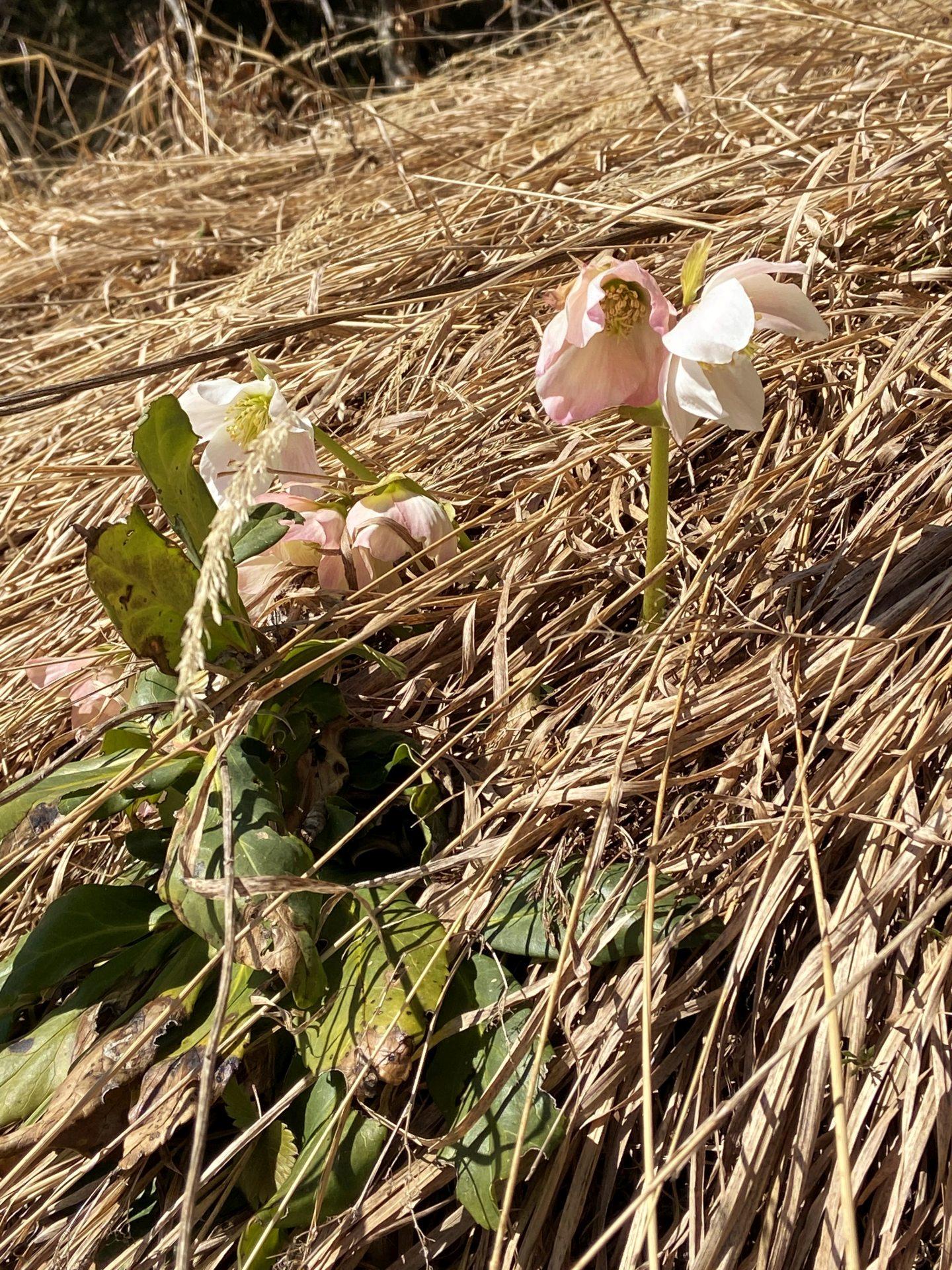 Hat diese Schneerose von der Erika abgefärbt? :-) - Blume, Blüte, Natur, Pflanze, Ramsau, Schneerose, Unterberg - (Adamsthal, Kieneck, Niederösterreich, Österreich)