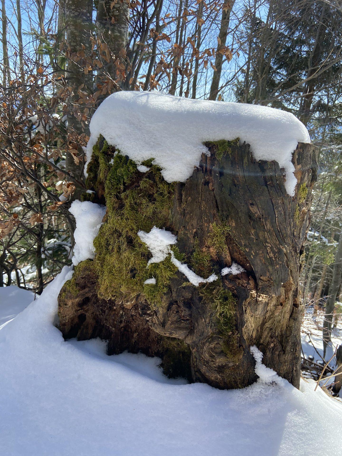 Auch im zeitigen Frühling kanns noch tiefwinterlicht sein - Baumstamm, Baumstumpf, Natur, Ramsau, Schnee, Unterberg - (Adamsthal, Kieneck, Niederösterreich, Österreich)