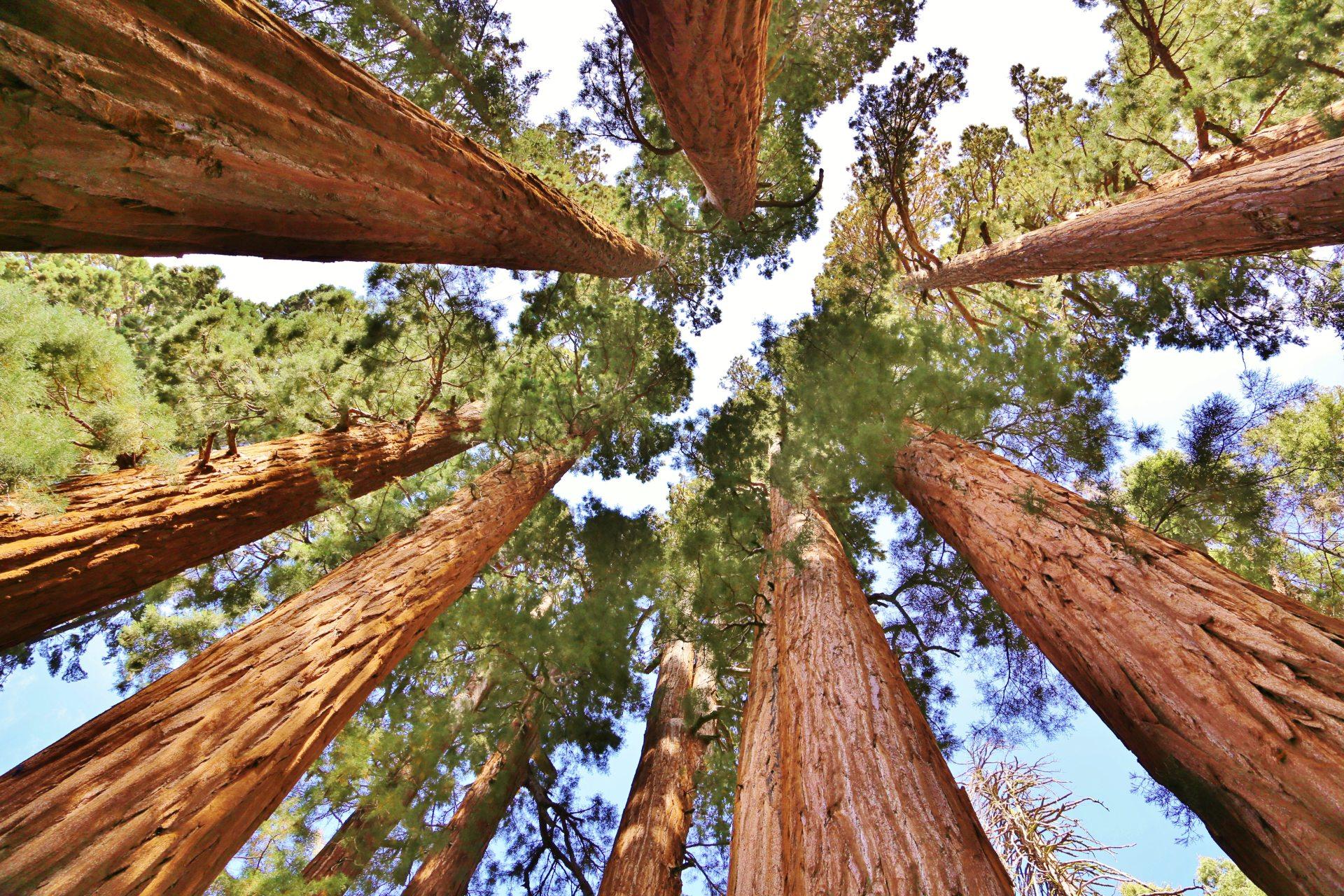 Endlos weit weg erscheinen die Baumkronen im Sequioa Nationalpark - Bäume, Baumstämme, Himmel, hoch, Kalifornien, malerisch, Mammutbäume, Riesenmammutbäume, riesig, Sequoia National Park, traumhaft, überdimensional - (Pinewood, Sequoia National Park, California, Vereinigte Staaten)