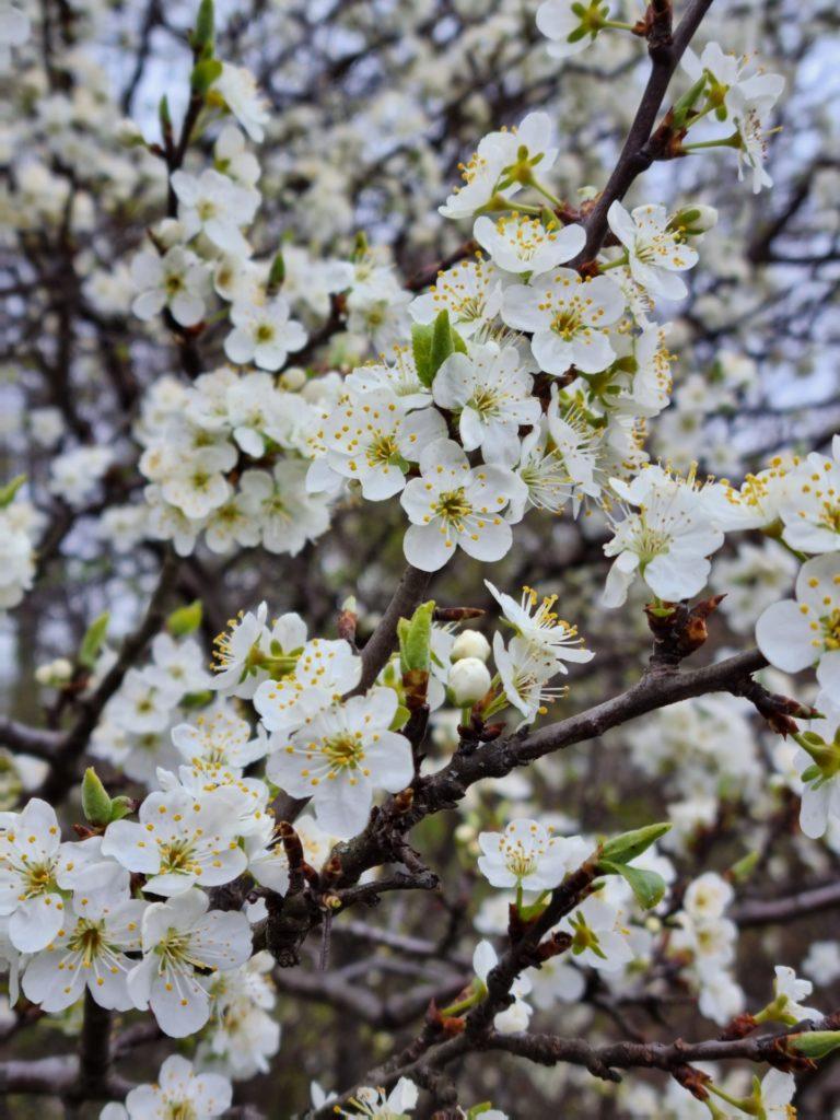 Blütenmeer macht immer viel her! - Äste, Blüten, Blütenmeer, Knospen, Wienerwald, Zweige - (Untersievering, Wien, Döbling, Wien, Österreich)