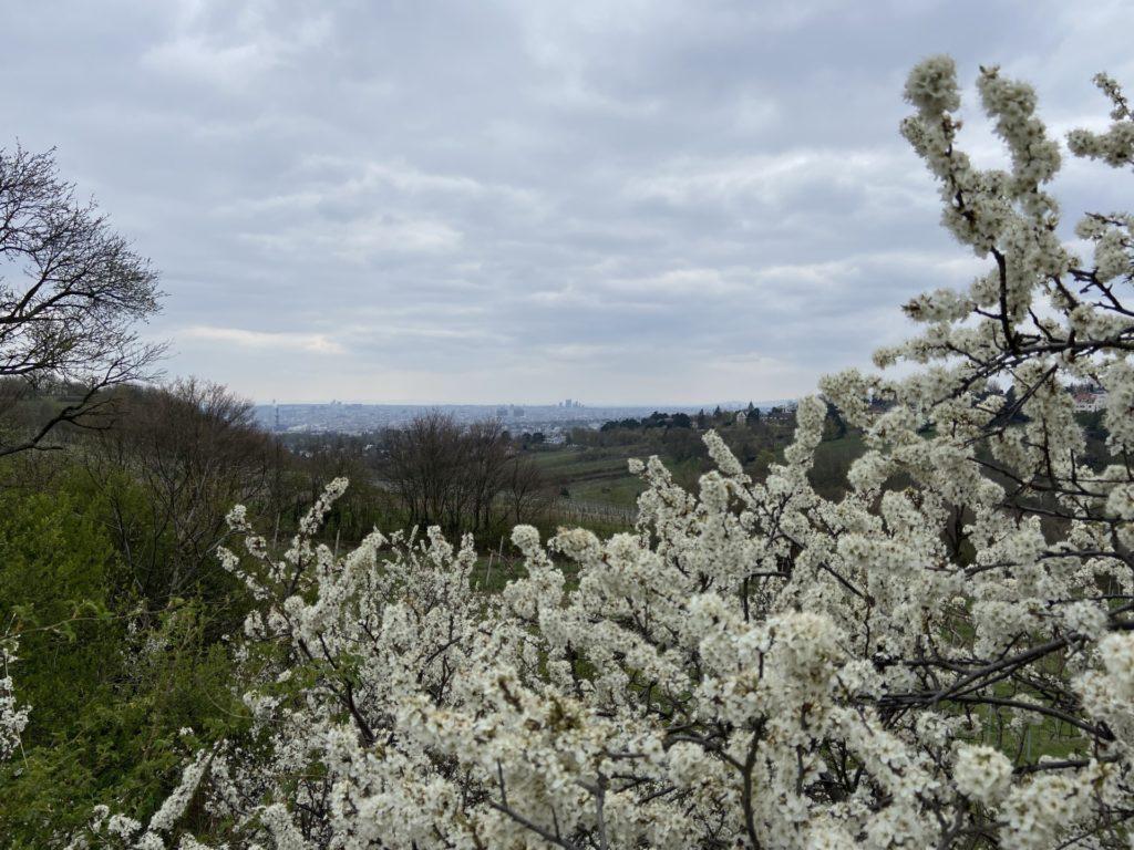 Kirschblüte kommt mir immer in die Tüte! - Äste, Ausblick, Aussicht, Bäume, Himmel, Kirschblüte, Landschaft, Wienerwald, Wolken, Wolkendecke, Wolkenmeer - (Josefsdorf, Wien, Döbling, Wien, Österreich)
